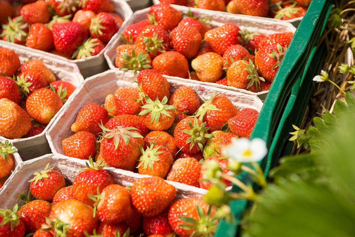 Erdbeeren frisch in Mecklenburg