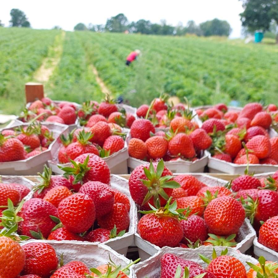 Frische Erdbeeren Verkauf Tieplitz -Landkreis Rostock