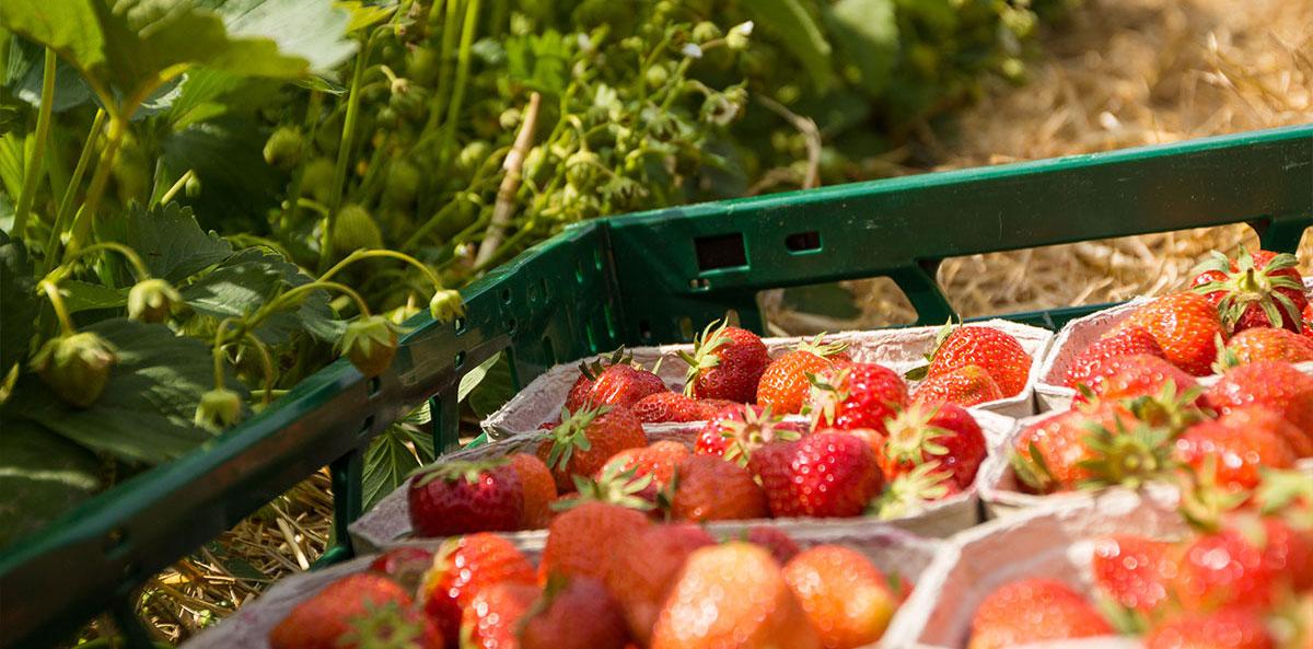 Erdbeerfelder im Landkreis Rostock