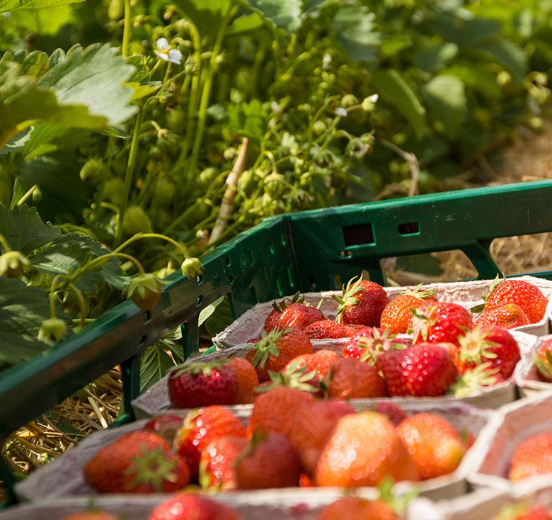 Erdbeeren selber pflücken Tieplitz